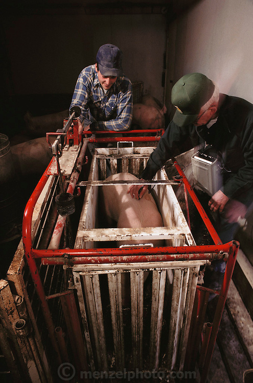 Pigs/Swine/Hog: Reading fat layers by sonogram at the Dee Brothers hog farm, State Center, Iowa. USA.