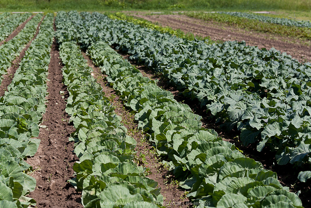 Rows of broccoli and cabbage in a farm field.