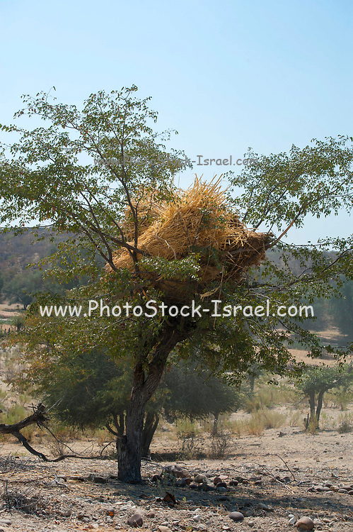 Harvested wheat stalks are stored on a tree top to keep away from grazing animals. Photographed at the Kunene River (Cunene River), the border between Angola and Namibia, south-west Africa
