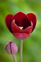 Tulipa 'Mahogany King'. (Breeder tulip)