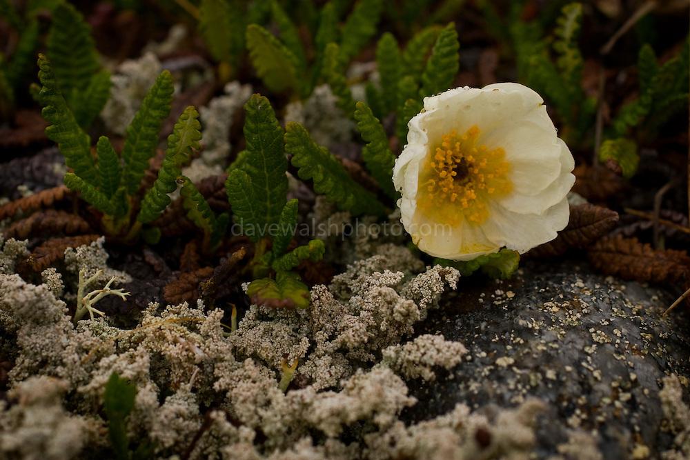 Dryas octopetala, Mountain Avens in Tundra, Denali National Park..