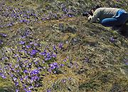 Polana Chochołowska, kobieta fotografująca kwitnące krokusy.