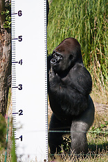 2016-10-14 Kumbuka the gorilla escapes from London Zoo enclosure