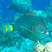 Stoplight Parrotfish swim about reefs and adjacent areas scrapping filamenmtous algae from hard substrates in Tropical West Atlantic; picture taken Grand Turk.