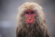 A portrait of a snow monkey (Macaca fuscata) sitting in a steamy hot spring, Jigokudani, Yamanouchi, Japan