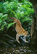 Endangered amur leopard of asia