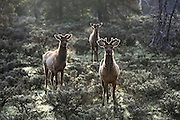 Three Rocky Mountain Elk in Habitat
