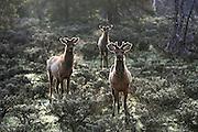 Three Rocky Mountain Elk in Habitat