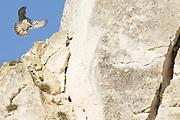Peregrine preparing to land on cliff face. Surrey, UK.
