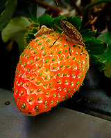 """Stink Bug on my first """"just about ripe"""" indoor hydroponic strawberry. Image taken with a Fuji X-T3 camera and 80 mm f/2.8 macro lens (ISO 800, 80 mm, f/16, 1/60 sec)."""