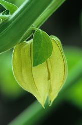 Cape gooseberry - Physalis pruinosa