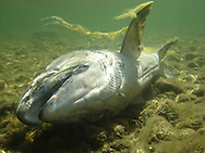 Chinook Salmon (Carcass)<br /> <br /> Todd Pearsons/Engbretson Underwater Photography