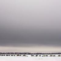 A reindeer caravan herded by the last nomadic Komi clan crosses the tundra near Nizhnyaya  Pesha, in the Russian Arctic.