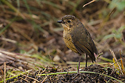 Tawny Antpitta (Grallaria quitensis)<br /> El Angel Ecological Reserve protects 16,000 hectares of paramo or high altitude grassland.<br /> Andes<br /> ECUADOR, South America<br /> Range & Habitat: Colombia, Ecuador & Peru, subtropical or tropical moist montane forests.