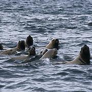 Northern Fur Seal, (Callorhinus ursinus)  In water in Southeast  Alaska.