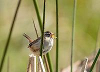 Marsh Wren, Cistothorus palustris, perches on reeds in Sonoma County, California