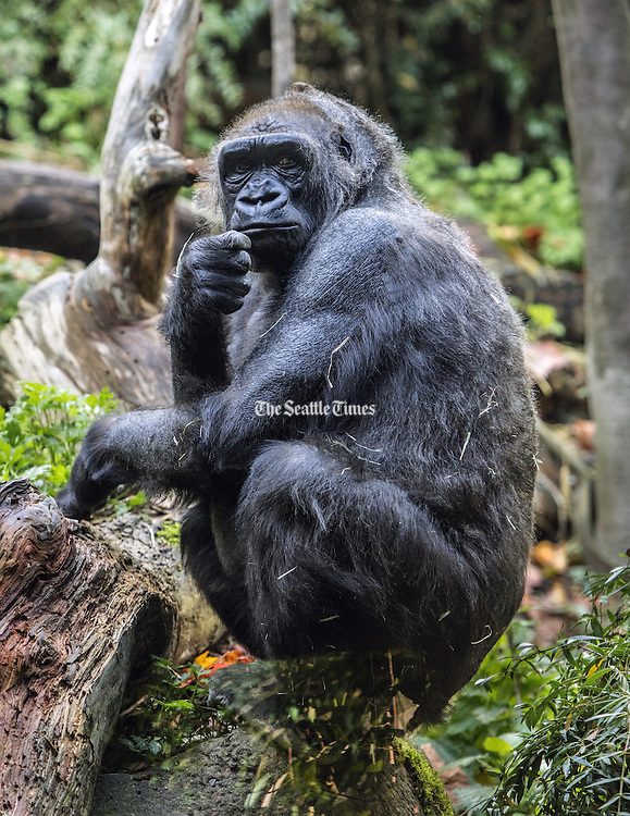 Nadiri, a 19-year-old Woodland Park Zoo gorilla, is going to give birth in November. The zoo plans to start a 24-hour birth watch soon. (Steve Ringman/The Seattle Times, 2015)
