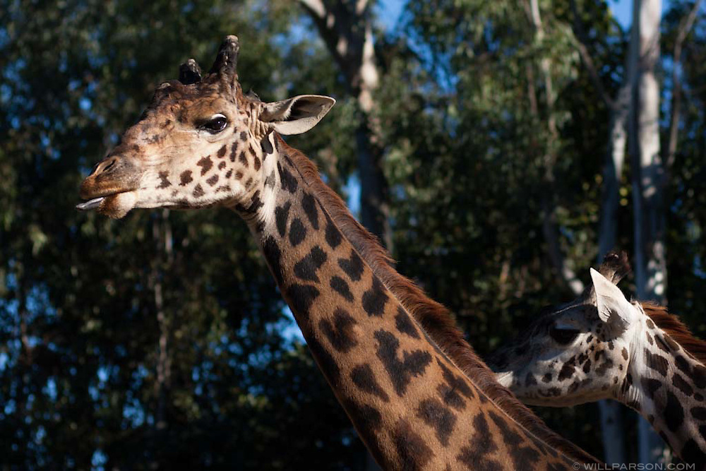 Two giraffes at the San Diego Zoo