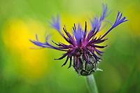 Mountain Cornflower (Centaurea montana), Piano Grande/Sibillini National Park, Italy; WWoE Mission