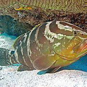 Nassau Grouper inhabit reefs in Tropical West Atlantic; picture taken Key Largo, FL.