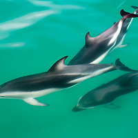 Dusky dolphins swimming alongside our whale watching boat in Kaikoura.