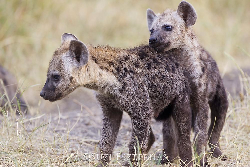 Spotted Hyena<br /> Crocuta crocuta<br /> Playful young pup<br /> Masai Mara Conservancy, Kenya