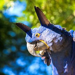 This Blue Hyacinth Macaw Strikes A Funny Pose.<br /> <br /> The large Hyacinth Macaw Anodorhynchus hyacinthinus is a majestic beauty. Visually it appears to be the largest parrot in the world. But that is not quite so. The elongated body of the Hyacinth reaches about 37' (95 cm) in length and it has an impressive wingspan up to about 42 inches across, which is the most expansive parrot in the world. But the Hyacinth is not all that hefty, it only weighs up to about 3.7 lb.<br /> <br /> The worlds largest parrot is actually a flightless, ground-dwelling bird. It is the species Strigops habroptila, commonly called Kakapo which means night parrot. This hefty bird only extends to 24' (61 cm) in length, but in weight a mature adult can be up to 9 pounds (4 kg)! The Kakapo is endemic to New Zealand and is quite a pretty bird in its own right. Rather than being blue like the Hyacinth, it is a yellowish green color mottled with dark stripes and spots giving it an owlish appearance. Its scientific name actually means 'owl-faced soft feathers'.<br /> <br /> The beautiful Hyacinth is pretty much an all blue large Macaw. The rich cobalt blue of its coloring is what influenced its name. It is a calm Macaw and known to make an excellent pet. Hyacinth Macaws have a very even temperament. They are sweet, extremely gentle, and are not inclined to make a great deal of noise. They are affectionate and playful, and become quite attached to their human families.