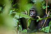 The LuiKotale Bonobo Project
