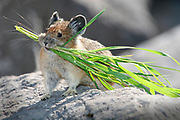 tiny Pika (Ochotona princeps) carries its winter food and insulation across the rocks of an avalanche slope.