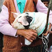 Ioana Rad, a Romanian peasant farmer carries a piglet at Bogdan Voda local market, Maramures, Romania.