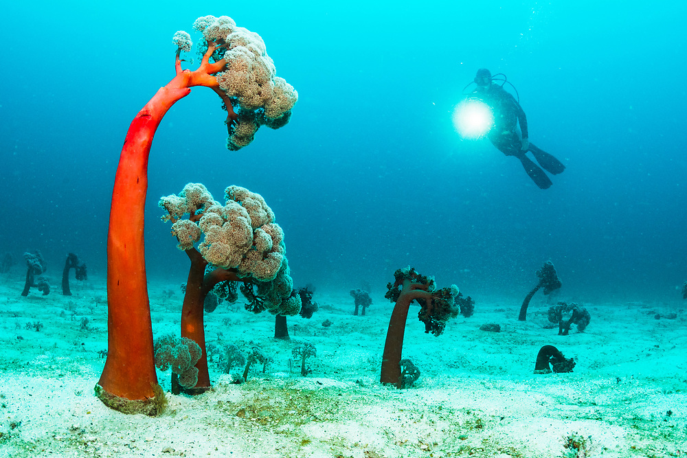 A scuba diver explores an underwater soft coral forest off Flores, Indonesia