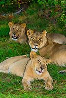 Mother lion and her daughters, Kwara Camp, Okavango Delta, Botswana.