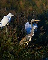 Little Blue Heron (Egretta caerulea), Tricolored Heron (Egretta tricolor). Black Point Wildlife Drive. Merritt Island National Wildlife Refuge. Image taken with a Nikon D3 camera and 70-200 mm f/2.8 VR lens.