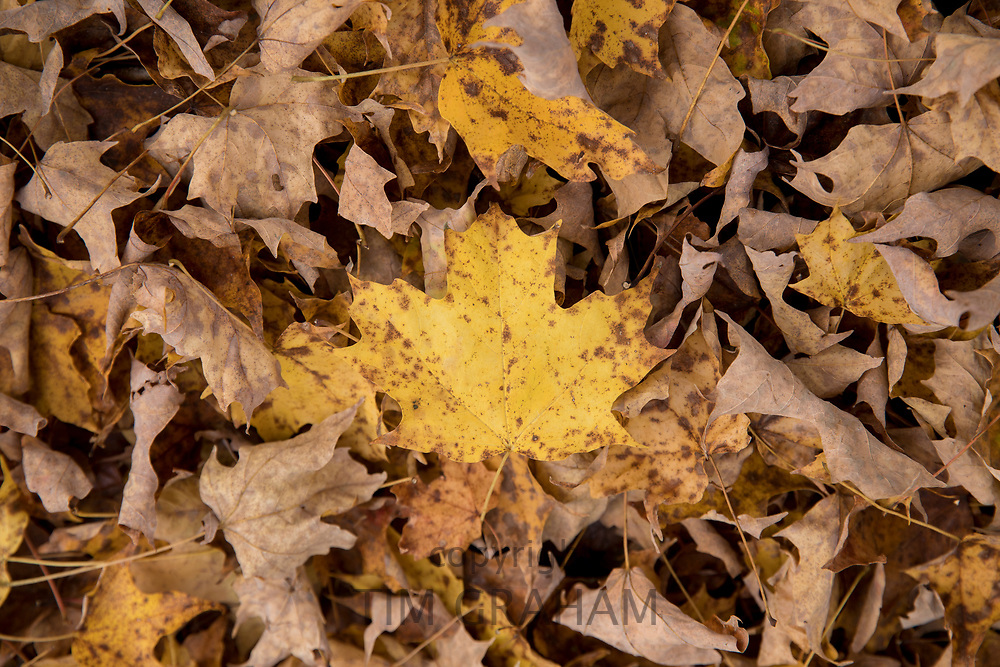 Fall colours of fallen maple leaves in Vermont, New England, USA