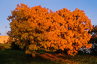 Budapest, Hungary. Gellert Hill. Colourful tree next to the Citadel.