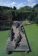 Alligators, Alligator Farm, St Augustine, Florida<br />