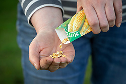 Sowing sweetcorn seed - Zea mays. Emptying packet into hand