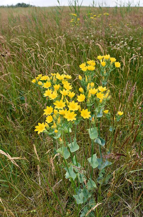 Yellow-wort - Blackstonia perfoliata