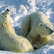 Polar Bear, (Ursus maritimus) Two bears. Churchill, Manitoba. Canada.