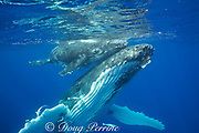 humpback whale, Megaptera novaeangliae, and calf, Vava'u, Kingdom of Tonga, South Pacific; both mother and baby have remoras, or sharksuckers attached to underside