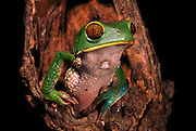 Brown-bellied monkey frog (Phyllomedusa tarsius)<br /> CAPTIVE<br /> Amazon region<br /> ECUADOR. South America<br /> RANGE: Ecuador<br /> Amazon Basin