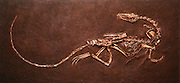 Edwin Colbert, former chairman of the Department of Paleontology at the American Museum of Natural History rediscovered Coelophysis at Ghost Ranch in 1947.  Baby Coelophysis are in this specimen's stomach.