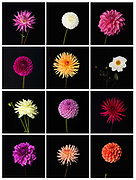 Various varieties of dahlia picked from the garden at Newby Hall estate and gardens, Ripon, North Yorkshire, UK
