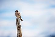 American Kestrel, NAF, Idaho