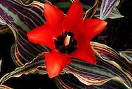 Red Tulip Closeup