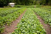 Wide horizontal shot of vegetable field.