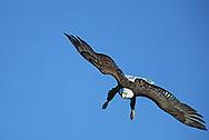 Bald eagle diving, wings out, legs down, blue sky background, Alaska, © David A. Ponton