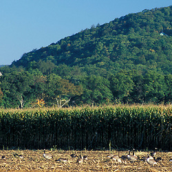 Kent, CT.. Canada Geese feed in a field of corn near the Housatonic River in the Litchfield Hills of western Connecticut.