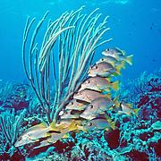 Schoolmaster inhabit reefs in Tropical West Atlantic; picture taken Little Cayman.
