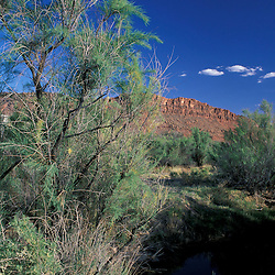Arches National Park, UT..Tamarisk, Tamarix chinensis, an invasive alien tree species, grows along a creek in the Utah desert.  Native to Eurasia.  Delicate Arch Trail.